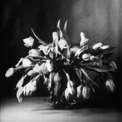 Tulpen IV, 2015